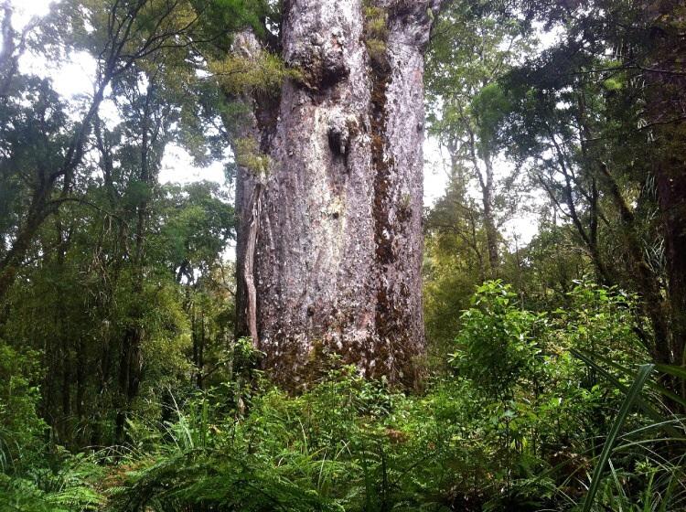 Kauri, die Riesenbäume. 16m Umfang misst das Ding kann seine kröne aber nicht mehr mit Wasser versorgen!