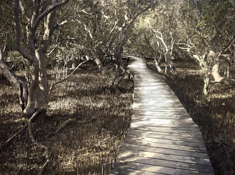 Holzblanken durch Mangroven.