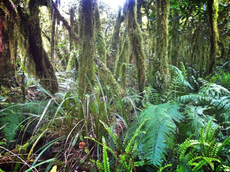 Unten am Grund etwas Farn und die Bäume in Moos gehüllt.