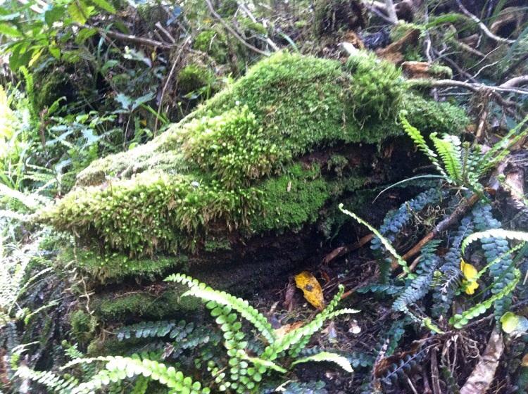 Green Rock crocodile