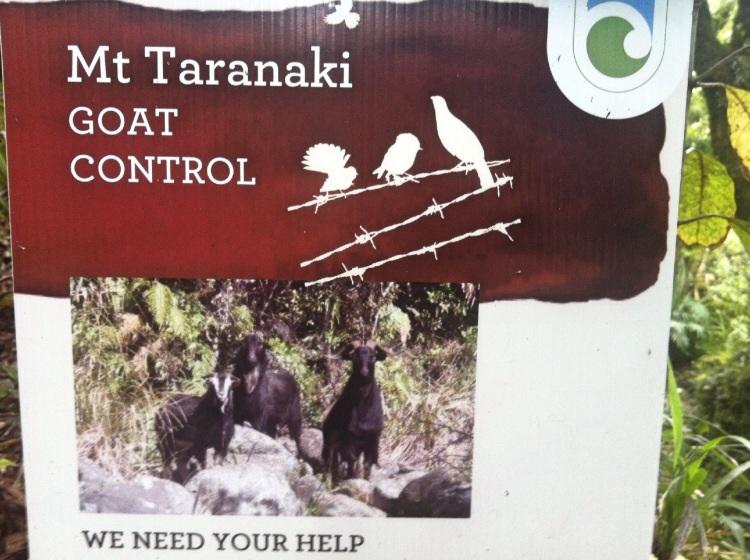 Es gibt eine Ziegenplage und auch andere eingeschleppte Tier bereiten heute ärger.